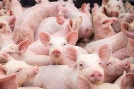 Giá lợn hơi ngày 7/9/2021 giảm, cuối năm lo thiếu thịt