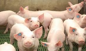 Giá lợn hơi ngày 13/9/2021 tại miền Bắc, miền Nam giảm nhẹ
