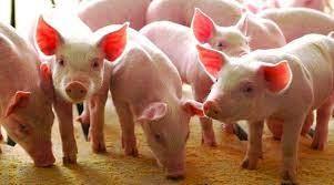 USDA: Dự báo giá thịt lợn tiếp tục giảm