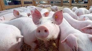 Giá heo hơi ngày 4/10/2021: Lượng thịt nhập khẩu quá nhiều khiến giá heo giảm mạnh