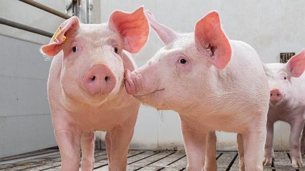 Nhập khẩu thịt lợn của Trung Quốc tháng 9/2021 giảm 17%