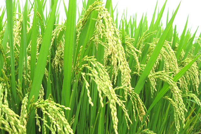 Hồi sinh hạt gạo tiến vua