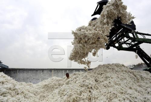 Trung Quốc: Sản lượng bông tăng trở lại sau 4 năm sụt giảm