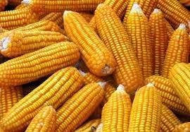 Giá đậu tương, ngô tuần giảm mạnh nhất trong hơn 2 tháng