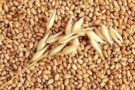 Nhập khẩu lúa mì Ấn Độ giảm