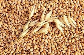 Giá lúa mì Nga giảm chịu áp lực từ vụ thu hoạch mới