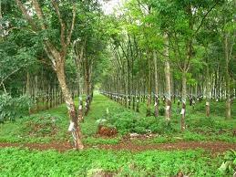 Sản lượng cao su tự nhiên của Ấn Độ tăng