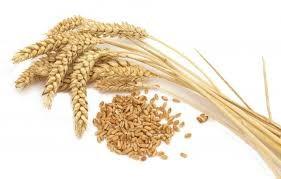 Giá lúa mì Nga giảm do đồng RUB suy yếu
