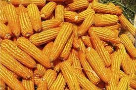 Thị trường TĂCN thế giới ngày 30/10/2019: Ngô tăng do vụ thu hoạch Mỹ chậm lại