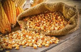 USDA: Dự báo cung cầu ngô thế giới niên vụ 2020/21