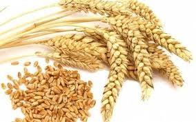 Giá lúa mì Nga tăng mạnh do nhu cầu cao