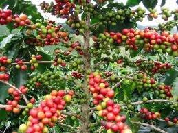 Xuất khẩu cà phê của Việt Nam trong tháng 2/2014 tăng 59% lên 160.000 tấn