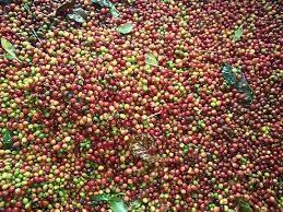 Tháng 2/2014, Cameroon xuất khẩu cà phê giảm 50%