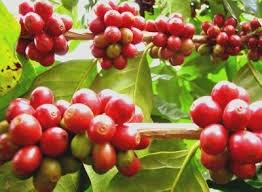 Nicaragua xuất khẩu cà phê tăng 24,8% trong tháng 2/2014