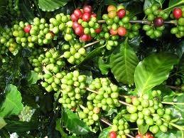 Thị trường cà phê: Trứng chọi đá?