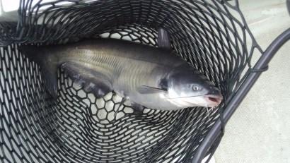 FSIS và FDA ký bản ghi nhớ về chuyển giao thanh tra cá da trơn