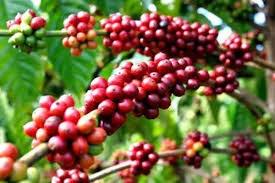 Giá cà phê Tây Nguyên giảm mạnh về 40,3 triệu đồng/tấn
