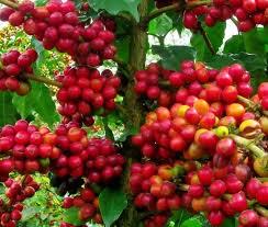 Xuất khẩu cà phê của Indonesia tháng 4/2014 giảm 15%
