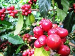Xuất khẩu cà phê của Uganda tháng 4/2014 tăng 35%