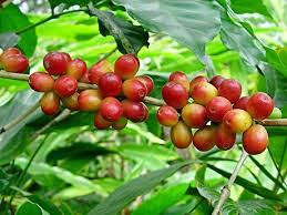 Thị trường cà phê ngày 08/5/2014