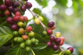 Giá cà phê rung rinh