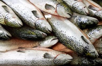 Chile dự báo khả quan cho ngành kinh doanh cá hồi