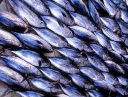 Thị trường cá ngừ vằn bắt đầu nóng trở lại