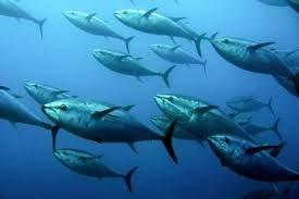 Nhập khẩu cá ngừ vây xanh tươi của Nhật Bản đảo chiều trong tháng 3