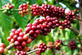 Xuất khẩu cà phê tăng tốc