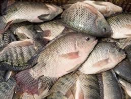 Nhập khẩu philê cá rô phi tươi vào Mỹ đạt kỷ lục trong năm 2013