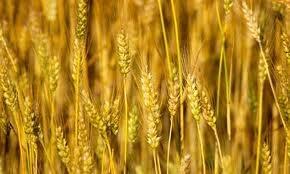 Sản lượng lúa mì của Trung Quốc năm 2014 dự báo tăng 0,7%