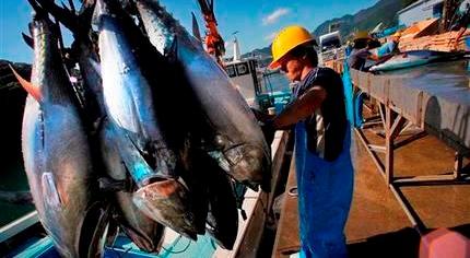 Xuất khẩu cá ngừ sang Hà Lan tăng trưởng ấn tượng