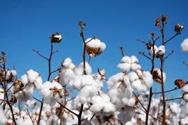 USDA: Dự báo cung cầu bông  thế giới niên vụ 2014/15