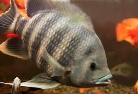 Châu Âu có trại nuôi cá rô phi đầu tiên đạt chứng nhận BAP