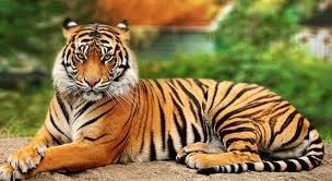 Số lượng hổ hoang dã giảm mạnh do nhu cầu của Trung Quốc