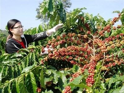 Cà phê Việt Nam, mức cộng giảm do giá kỳ hạn London tăng