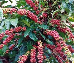 Xuất khẩu cà phê từ Indonesia giảm do mưa làm thối hạt