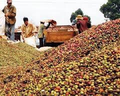 Cà phê arabica giảm tiếp từ đỉnh hai năm