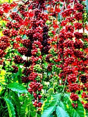 Sự phục hồi của ngành cà phê Angola