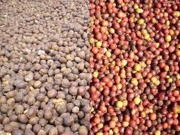 Giá cà phê arabica rời xa đỉnh 2 năm, cacao tăng