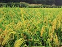 Xuất khẩu gạo Thái lan có thể dưới 6,9 triệu tấn