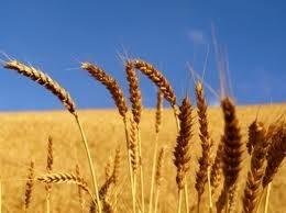 Nhập khẩu lúa mì tăng cả lượng và trị giá